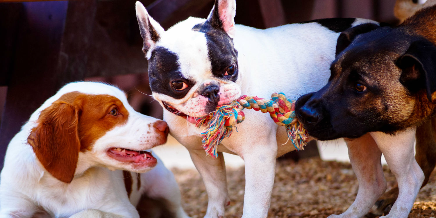 Dog Day Camps - Puppy Play Dates at Kennelwood Pet Resorts